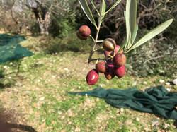 4 Ladopoulos Harvest, 2016 2