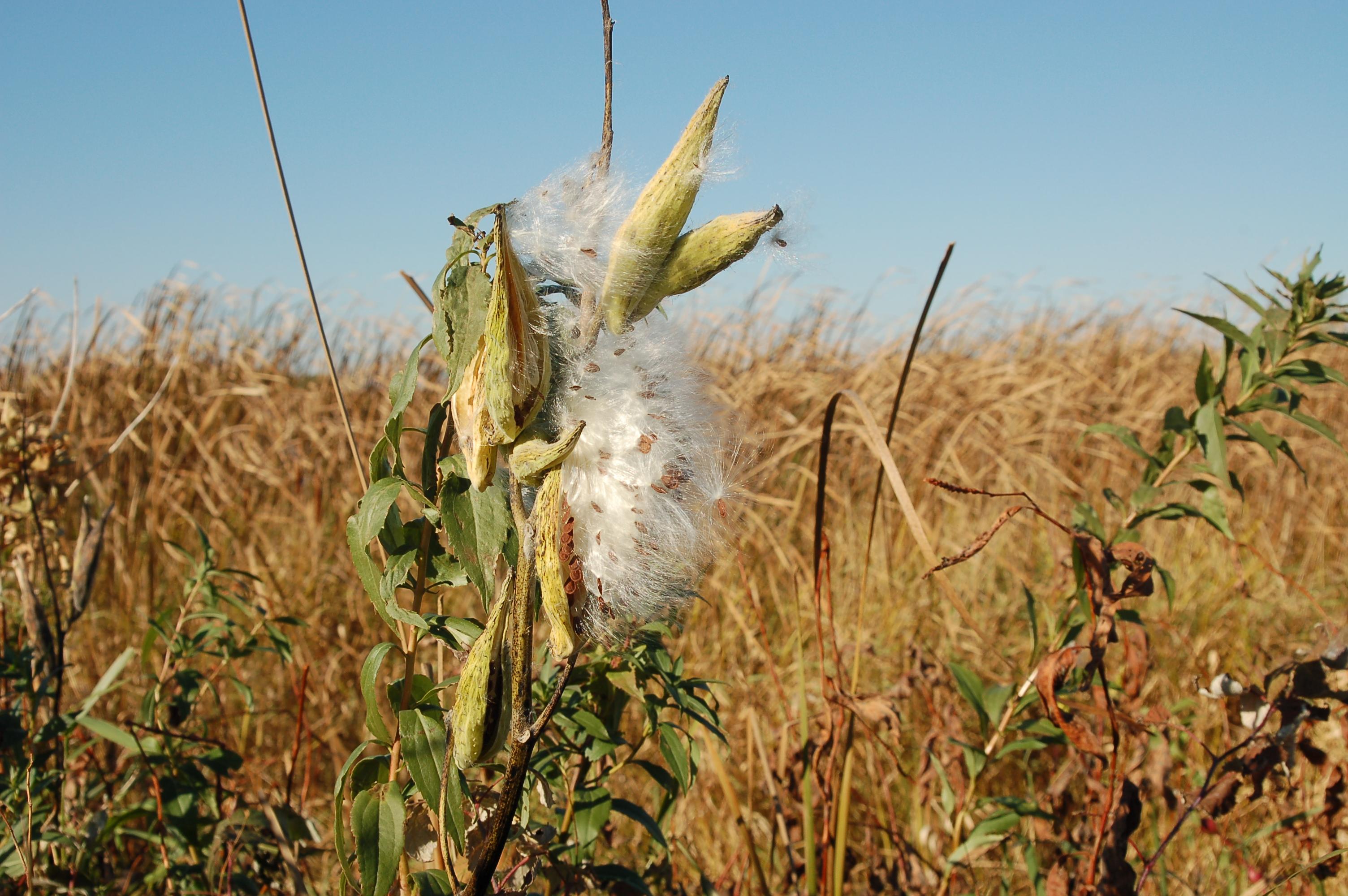 Milkweed on Ulen Prairie