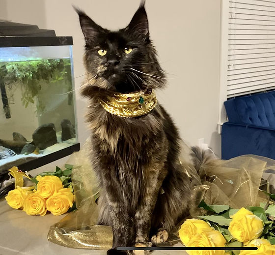 maine coon kittens for sale, large maine coon cats for sale, main coon cat for sale, main coon cats