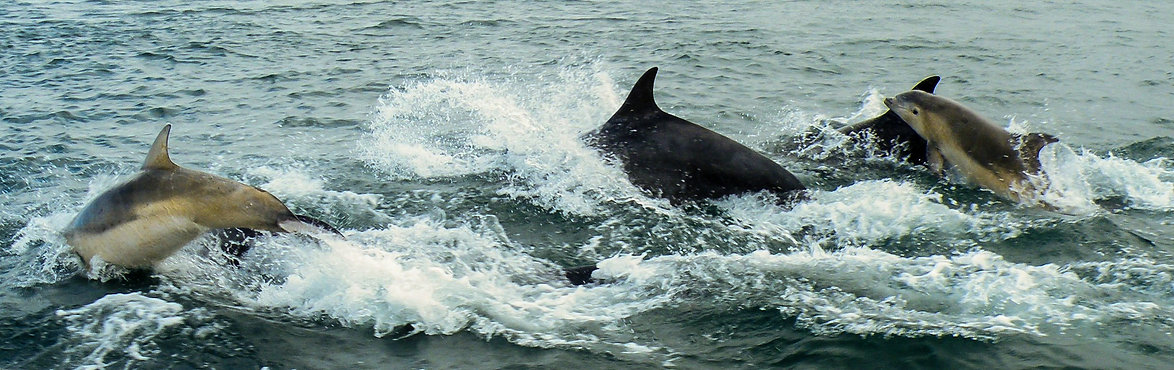 Bottle-nose dolphins on the way to Canna