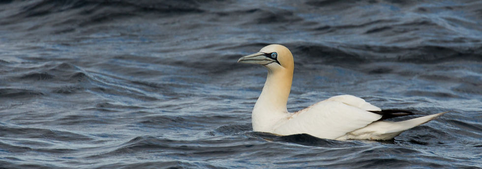 Gannet near Ailsa Craig. Spectacular to see them dive !