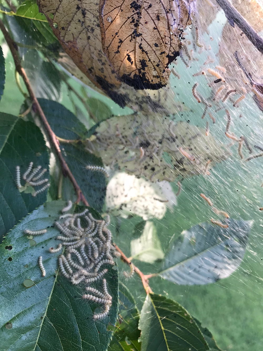 Fall webworms leave behind skeletonized leaves and fecal droppings. Yummy.