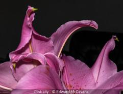 Pink Lily - Edward McCavana