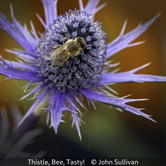 John Sullivan_Thistle, Bee, Tasty!.jpg