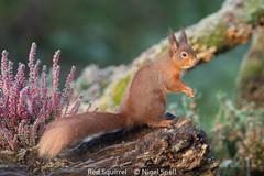 Nigel Snell_Red Squirrel.jpg