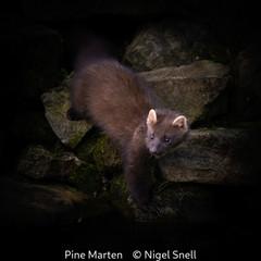 Nigel Snell_Pine Marten.jpg