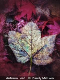 Mandy Milliken_Autumn Leaf.jpg