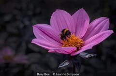 Leanne Simpson_Busy Bee.jpg