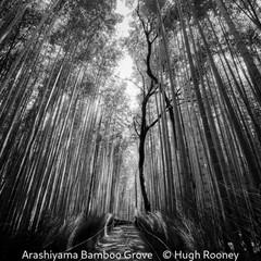 Arashiyama Bamboo Grove - Hugh Rooney