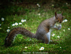 John Sullivan_Squirrel.jpg