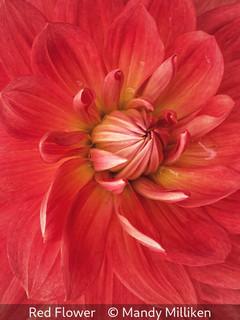 Mandy Milliken_Red Flower.jpg