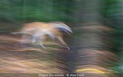 Alan Field_Dog in the woods.jpg