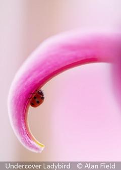 Alan Field_Undercover Ladybird.jpg