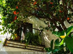 Harry Graham_Orange tree.jpg