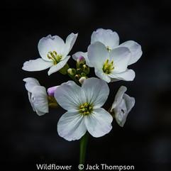 Wildflower - Jack Thompson