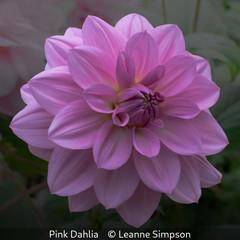 Leanne Simpson_Pink Dahlia.jpg
