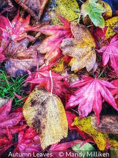 Mandy Milliken_Autumn Leaves.jpg