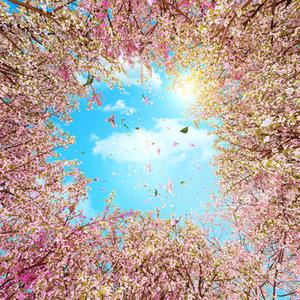 제주드림타워 실링 디스플래이 벚꽃
