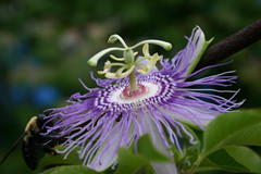Purple Passion #5875