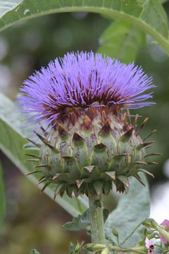 Purple Thistle #0072