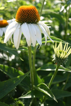 White Coneflower #4358