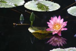 Blooming Lilypad #4523