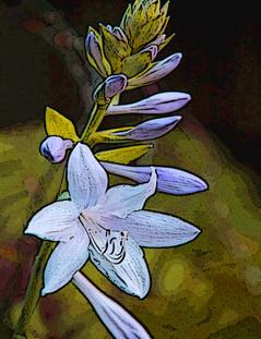 Hosta Flower Stalk