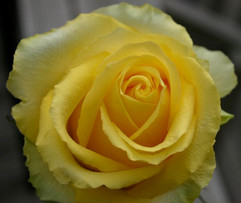 Yellow Rose #4950