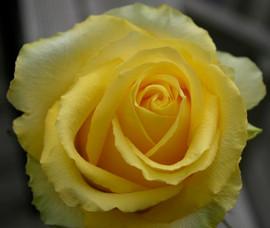 Yellow Rose #4950