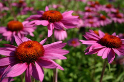 Purple Coneflower #4346