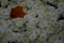 Mums with Fall Leaf #7320