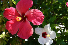 Bermuda Hibiscus #2422