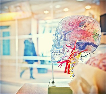medical human skull model