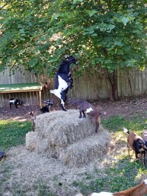 Goats?