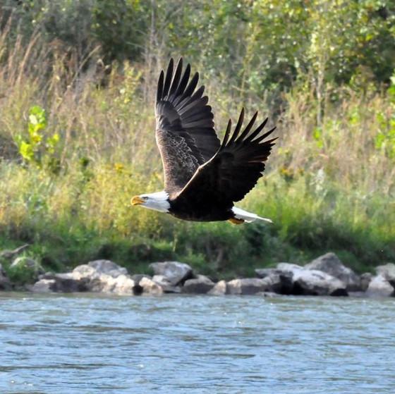 A Bald Eagle or a Black Swan?