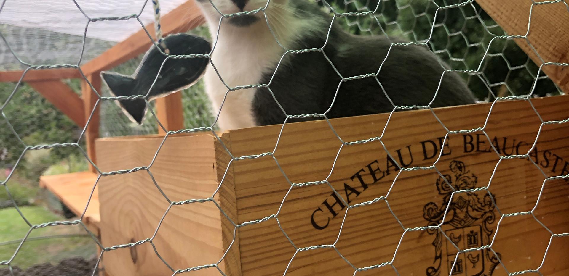 Cat in garden enclosure