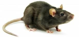 Rato de telhado - Rattus rattus