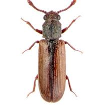 Lyctidae besouros