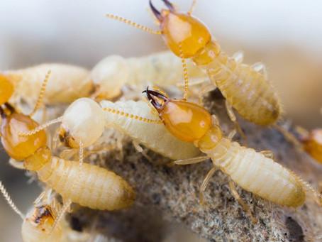 Que os cupins são insetos indesejados, isso é fato