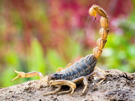 O que resolve e o que não resolve para se livrar de escorpiões?