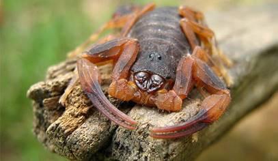 Escorpião Marrom - Tityus bahiensis