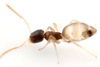 Formiga fantasma - Tapinoma melanocephalum