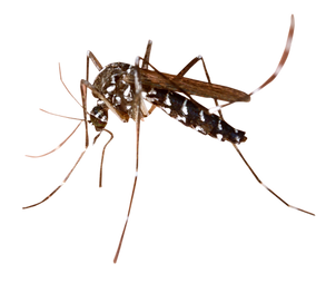 mosquito-dengue2.png