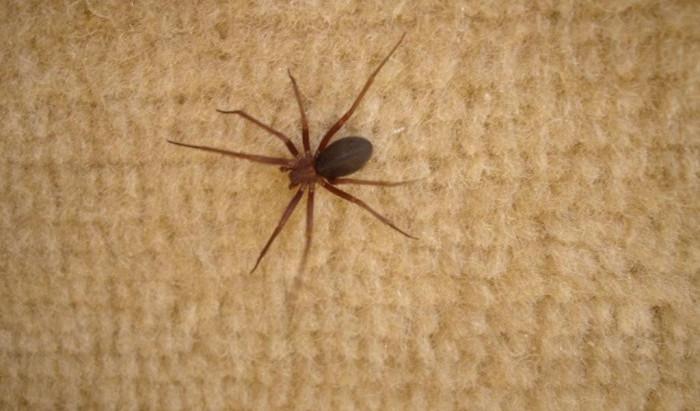Cuidado com a aranha marrom