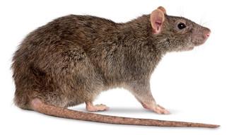Ratazana - Rattus norvegicus