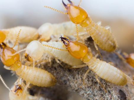 Que os cupins são insetos indesejados, isso é fato.
