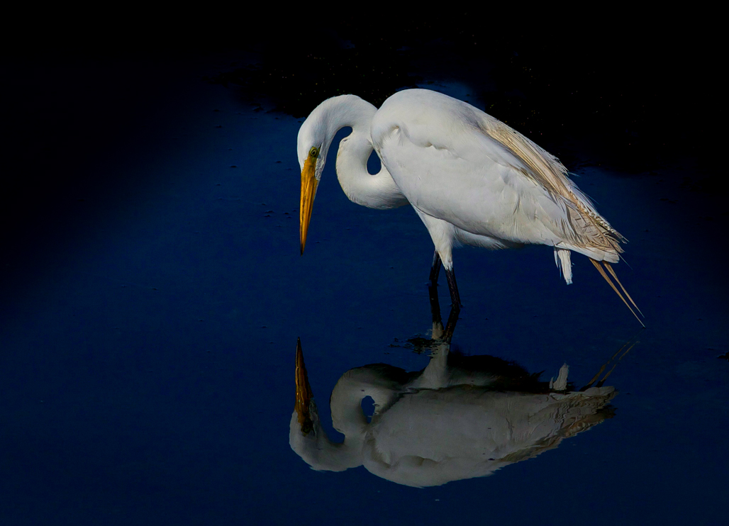 StephanieAmes_Great Egret