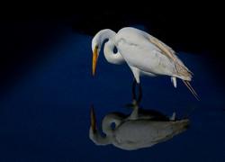 StephanieAmes_Great Egret