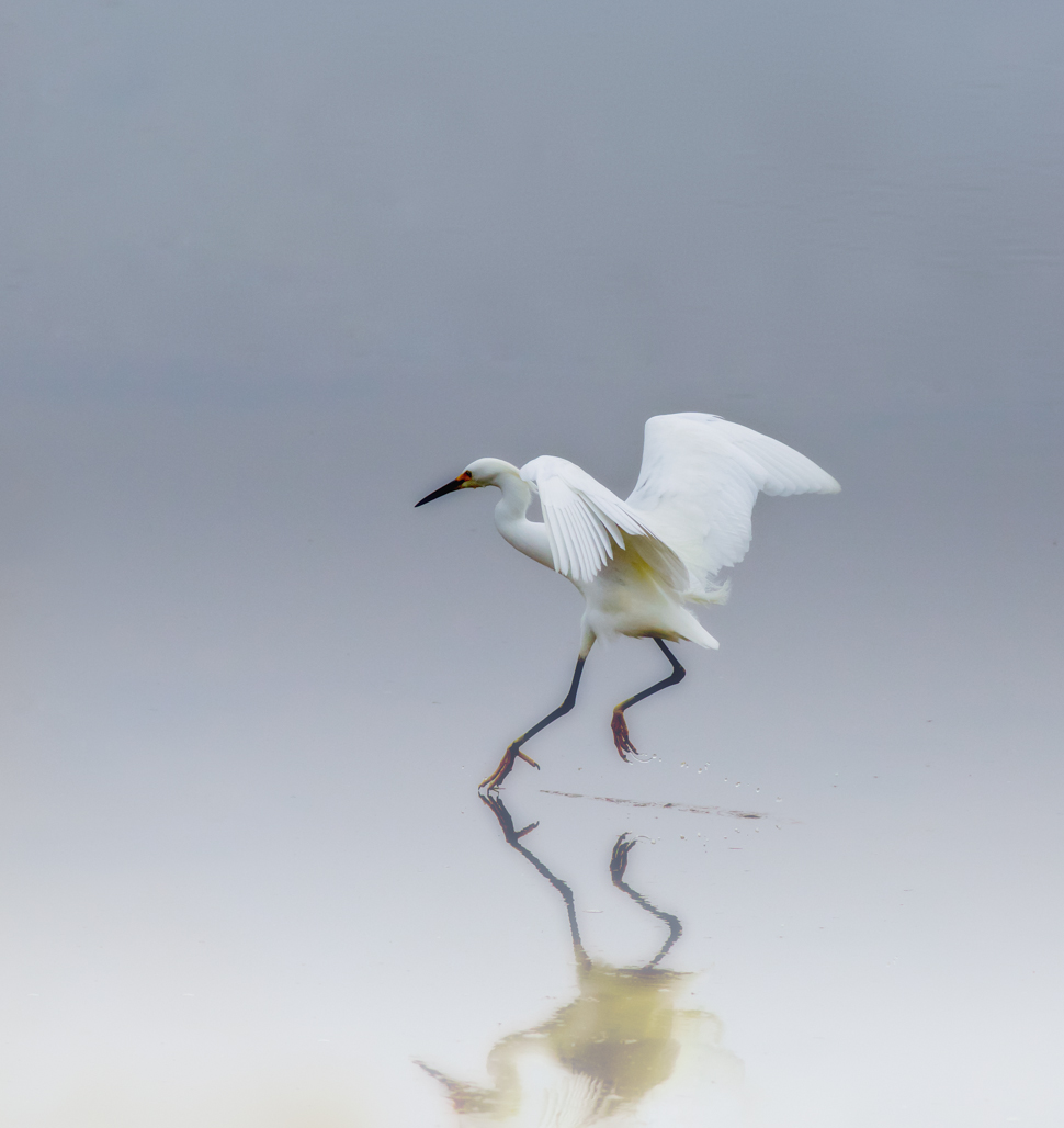 StephanieAmes_Snowy Egret Dance