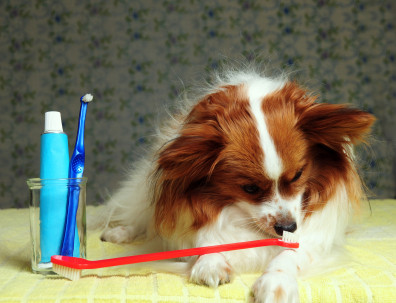 Papillon with toothbrush